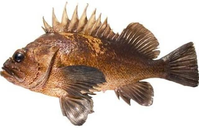 Rockfish 6th Grade